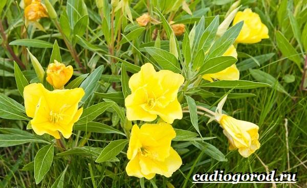 Энотера-цветок-Описание-особенности-виды-и-уход-за-энотерой-5