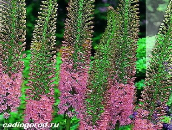 Эремурус-цветок-Выращивание-эремуруса-Уход-за-эремурусом-1