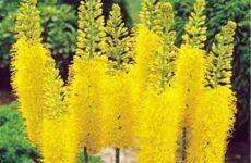 Эремурус цветок. Выращивание эремуруса. Уход за эремурусом