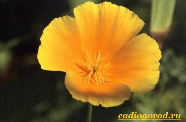 Эшшольция-цветы-Выращивание-эшшольции-Посадка-и-уход-за-эшшольцией-13