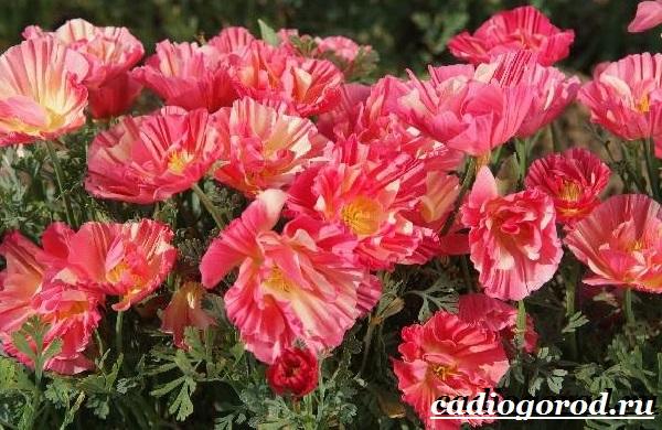 Эшшольция-цветы-Выращивание-эшшольции-Посадка-и-уход-за-эшшольцией-5