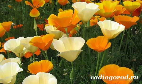 Эшшольция-цветы-Выращивание-эшшольции-Посадка-и-уход-за-эшшольцией-7