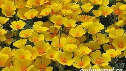 Эшшольция цветы. Выращивание и уход