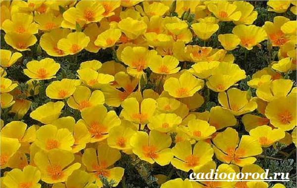 Эшшольция-цветы-Выращивание-эшшольции-Посадка-и-уход-за-эшшольцией-8