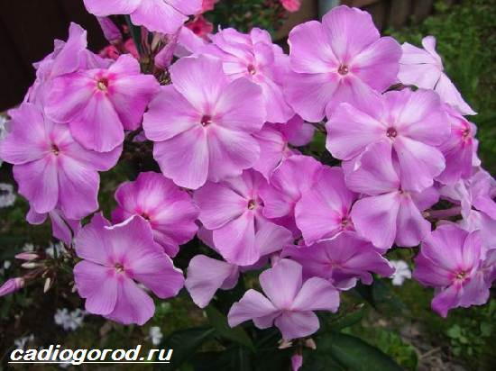 Флоксы-цветы-Выращивание-флоксов-Уход-за-флоксами-6