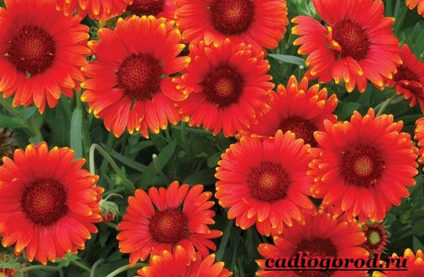 Гайлардия-цветок-Описание-особенности-виды-и-уход-за-гайлардией-11