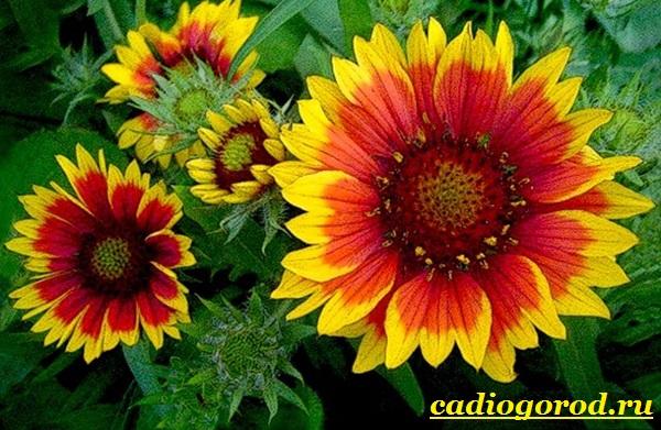 Гайлардия-цветок-Описание-особенности-виды-и-уход-за-гайлардией-13