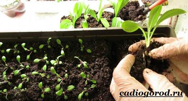 Гайлардия-цветок-Описание-особенности-виды-и-уход-за-гайлардией-14
