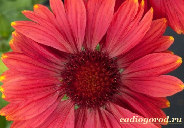 Гайлардия-цветок-Описание-особенности-виды-и-уход-за-гайлардией-17