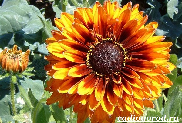 Гайлардия-цветок-Описание-особенности-виды-и-уход-за-гайлардией-19