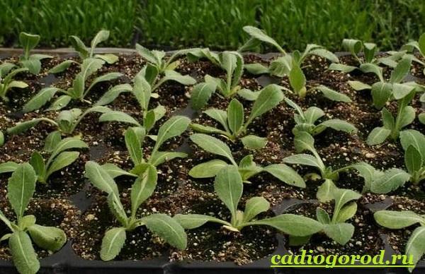 Гайлардия-цветок-Описание-особенности-виды-и-уход-за-гайлардией-8