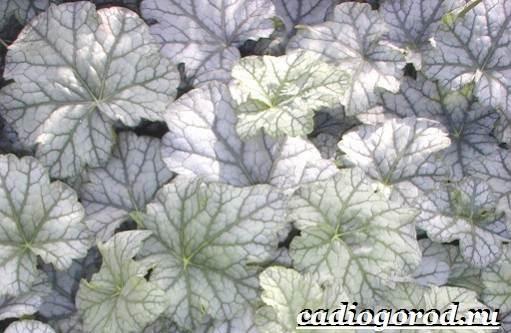 Гейхера-растение-Выращивание-гейхеры-Уход-за-гейхерой-11