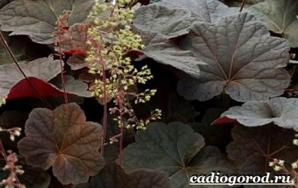 Гейхера-растение-Выращивание-гейхеры-Уход-за-гейхерой-14