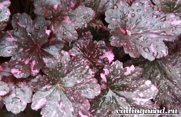 Гейхера-растение-Выращивание-гейхеры-Уход-за-гейхерой-17