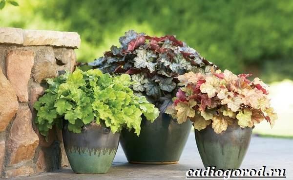 Гейхера-растение-Выращивание-гейхеры-Уход-за-гейхерой-18