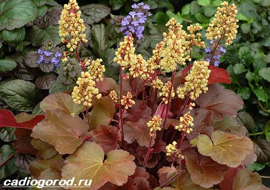 Гейхера-растение-Выращивание-гейхеры-Уход-за-гейхерой-3