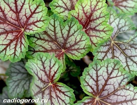 Гейхера-растение-Выращивание-гейхеры-Уход-за-гейхерой-4