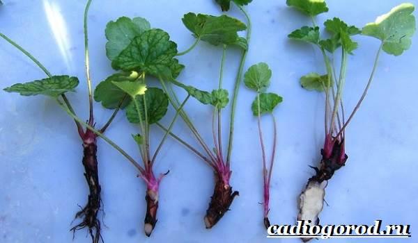 Гейхера-растение-Выращивание-гейхеры-Уход-за-гейхерой-7
