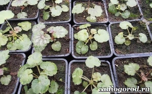 Гейхера-растение-Выращивание-гейхеры-Уход-за-гейхерой-8