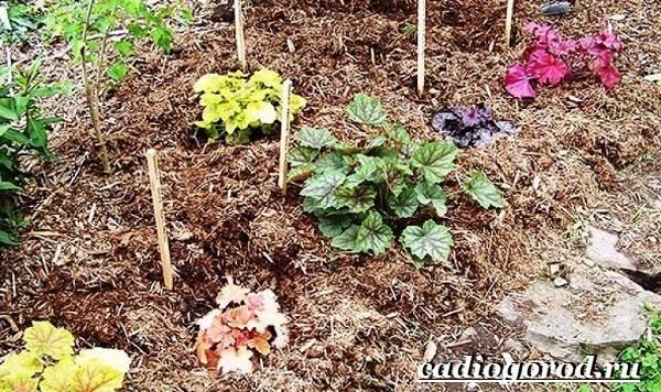 Гейхера-растение-Выращивание-гейхеры-Уход-за-гейхерой-9