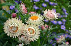 Гелихризум цветок. Выращивание и уход за гелихризумом