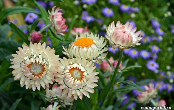 Гелихризум-цветок-Выращивание-и-уход-за-гелихризумом-1