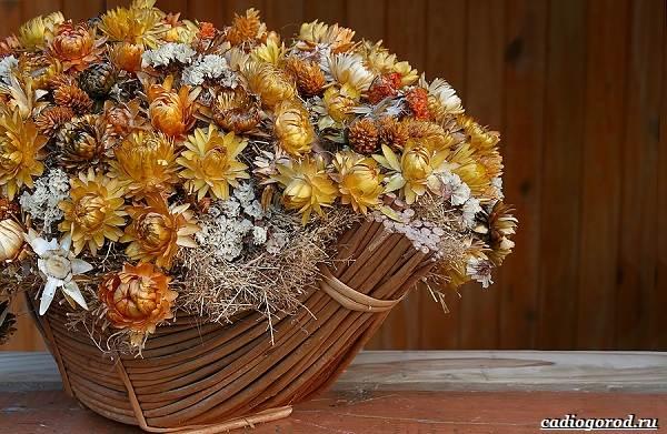 Гелихризум-цветок-Выращивание-и-уход-за-гелихризумом-10