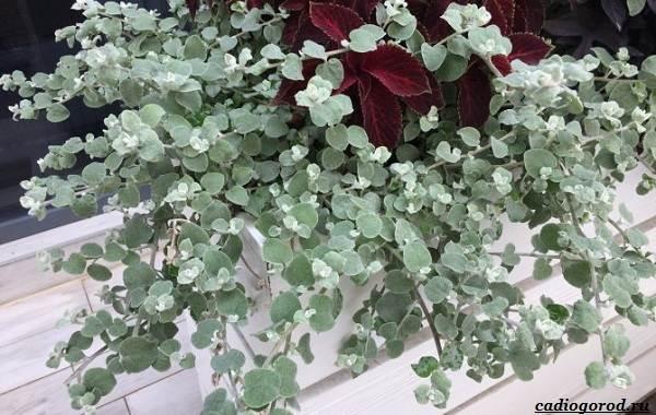 Гелихризум-цветок-Выращивание-и-уход-за-гелихризумом-11