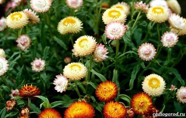 Гелихризум-цветок-Выращивание-и-уход-за-гелихризумом-12
