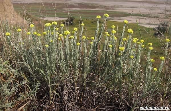 Гелихризум-цветок-Выращивание-и-уход-за-гелихризумом-13