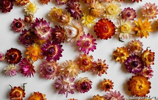 Гелихризум-цветок-Выращивание-и-уход-за-гелихризумом-2