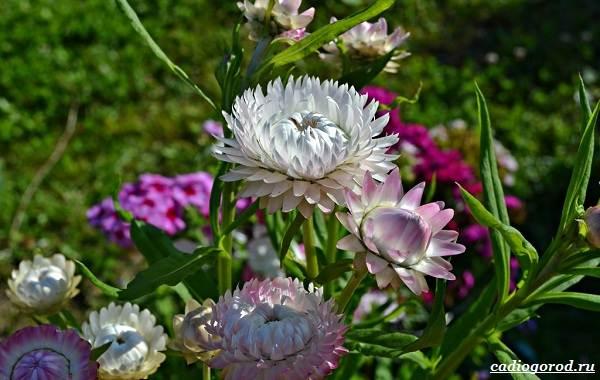 Гелихризум-цветок-Выращивание-и-уход-за-гелихризумом-9