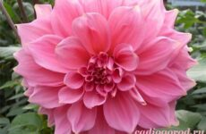 Георгины цветы. Описание, особенности, виды, цена и уход георгинами