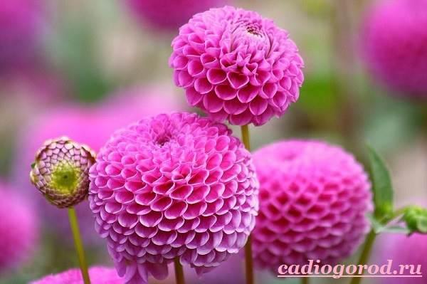 Георгины-цветы-Описание-особенности-виды-цена-и-уход-георгинами-15