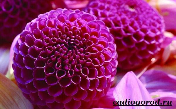 Георгины-цветы-Описание-особенности-виды-цена-и-уход-георгинами-21