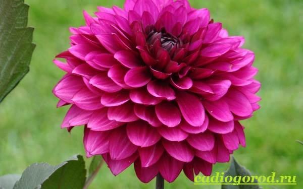 Георгины-цветы-Описание-особенности-виды-цена-и-уход-георгинами-30