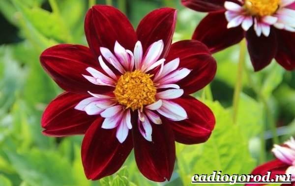 Георгины-цветы-Описание-особенности-виды-цена-и-уход-георгинами-41