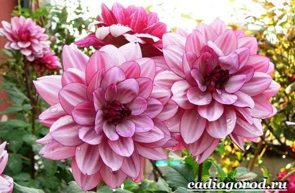 Георгины-цветы-Описание-особенности-виды-цена-и-уход-георгинами-43