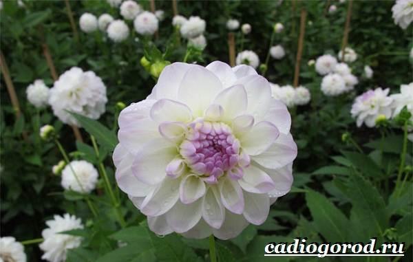 Георгины-цветы-Описание-особенности-виды-цена-и-уход-георгинами-49