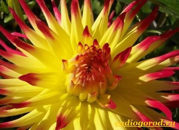 Георгины-цветы-Описание-особенности-виды-цена-и-уход-георгинами-6