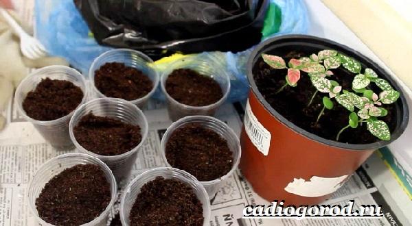 Гипоэстес цветок. Описание, особенности, виды и уход за гипоэстес-13