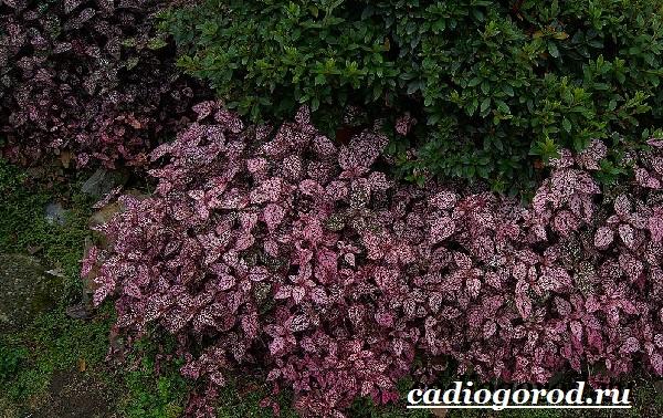 Гипоэстес цветок. Описание, особенности, виды и уход за гипоэстес-9