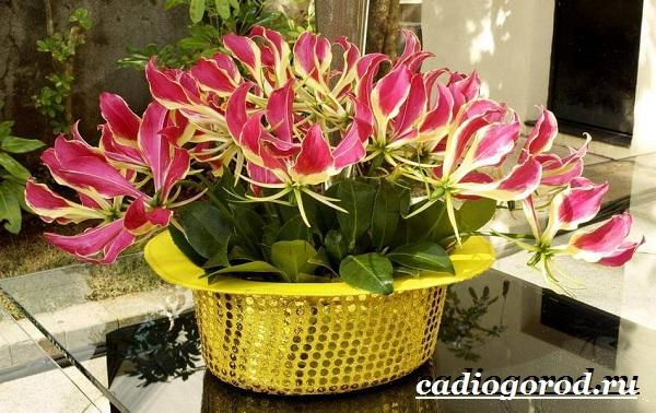 Глориоза-цветок-Описание-особенности-виды-и-уход-за-глориозой-18