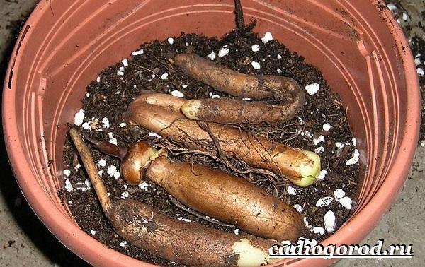 Глориоза-цветок-Описание-особенности-виды-и-уход-за-глориозой-3