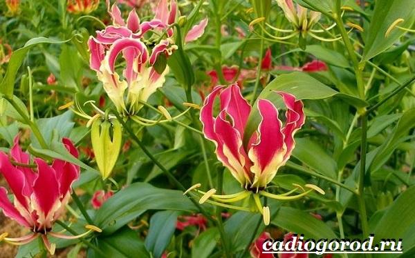 Глориоза-цветок-Описание-особенности-виды-и-уход-за-глориозой-4