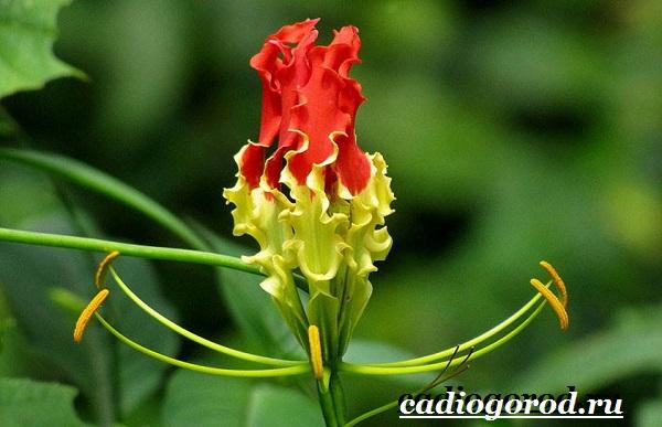 Глориоза-цветок-Описание-особенности-виды-и-уход-за-глориозой-9