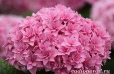 Гортензия цветок. Выращивание гортензии. Уход за гортензией