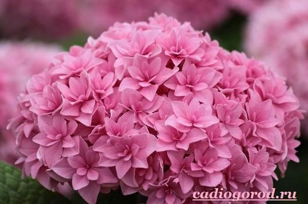 Гортензия-цветок-Выращивание-гортензии-Уход-за-гортензией-10