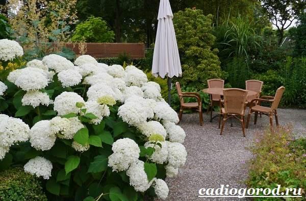 Гортензия-цветок-Выращивание-гортензии-Уход-за-гортензией-12