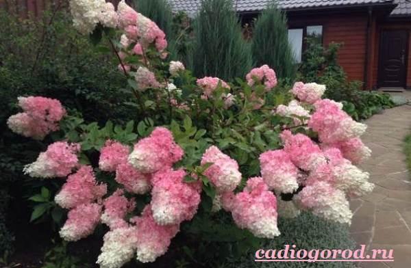 Гортензия-цветок-Выращивание-гортензии-Уход-за-гортензией-14